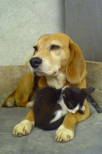400px-Beagle_and_sleeping_black_and_white_kitty-01